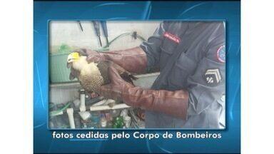 Bombeiros capturam gavião em uma casa em Montes Claros - Animal estava com uma das asas machucada e foi entregue ao Ibama.