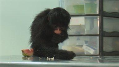 Macaco com risco de extinção é transferido para Porto Velho - Filhote está a caminho de Porto Velho, após ser encontrado em Vilhena.Macaquinho da espécie Chiropotes albinasus está ameaçado de extinção.