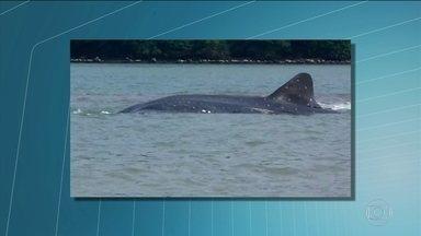 Tubarão baleia encalha, na costa de Angra dos Reis - Pescadores ajudaram o animal a voltar para alto mar, na praia de Monsuaba.