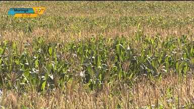 Depois de boas previsões, clima atrapalha a produção do milho no estado - Seca, geada e chuva não vieram na hora certa para os produtores