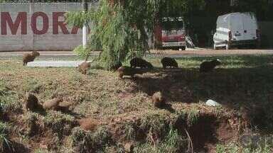 Grupo de capivaras chama atenção de motoristas e moradores na Via Norte em Ribeirão - Prefeitura afirma que o controle e monitoramento dos animais deve ser feito pelo Ibama.