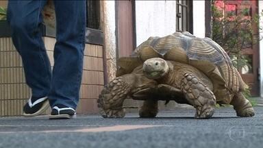 Jabuti de 70 kg mora em funerária em Tóquio e chama atenção dos vizinhos - Senhor Mitani ganhou Bonchan de presente. Bicho virou mascote da região e acabou ajudando nos negócios, pois alegra quem chega no local.