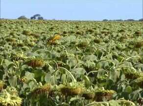 Plantio de girassól tem mais resistência a falta de água e a pragas no período de estiagem - Plantio de girassól tem mais resistência a falta de água e a pragas no período de estiagem, confira no Momento do Agronegócio