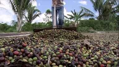 Estiagem afeta as lavouras de café conilon em RO e safra será menor - O estado de Rondônia é um dos maiores produtores de café Conilon do país. Por conta da estiagem, a safra deverá ter uma queda de 16% em relação ao ano passado, segundo dados da Conab.