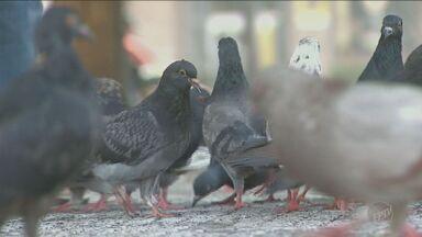 Infestação de pombos incomoda moradores de Campinas - Os animais podem transmitir doenças e ainda deixam a região suja.