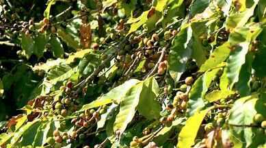 Seca no ES: produtores de café de Santa Maria de Jetibá investem em sistema de irrigação - Quem investiu em sistemas de irrigação conseguiu um resultado melhor do que o produtor que depende só da chuva.