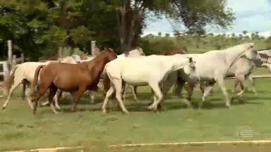 Cavalos quarto de milha recebem tratamento vip em haras de Teresina - Cavalos quarto de milha recebem tratamento vip em haras de Teresina