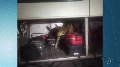 Passageiro é preso com 41kg de maconha em ônibus na BR-262 - PRF fazia operação com a Polícia Civil para combate ao narcotráfico. Suspeito disse que pegou a droga em MG para entregar em Guarapari.