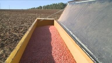 Área plantada de trigo deve ser reduzida por produtores de SC - Área plantada de trigo deve ser reduzida por produtores de SC