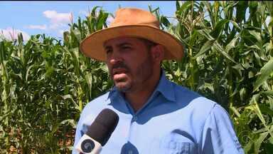 Pordutores de milho do município de Cedro vivem dias difíceis - O município já foi o maior produtor do Estado