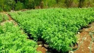 Jamaica quer criar indústrias de medicamentos à base de maconha - Governo pretende transformar relação natural que jamaicano tem com a erva em negócio. Descriminalização é recente, mas tradição de fumar é antiga.