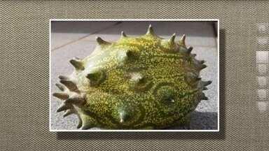 Saiba mais sobre o fruto chamado quino - O fruto também é conhecido como pepino africano. É da mesma família da abóbora e do pepino comum. Pode ser usada em saladas ou sucos e tem o sabor parecido com uma mistura de kiwi e limão.
