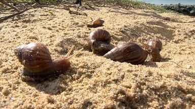 Infestação de caramujos na praia da Camburi preocupa prefeitura de Vitória - A prefeitura disse que esse caramujo não é natural do Brasil e não tem predador pra ele na nossa fauna. Por isso, as infestações acontecem.