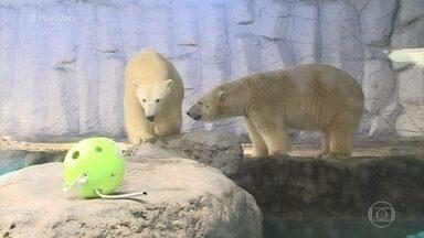 Casal de Ursos-Polares faz sucesso no aquário de São Paulo - Fabrício Battlaglini visita o local para conhecer a rotina de Aurora e Peregrino. Os ursos vieram da Rússia e encantam os visitantes do aquário