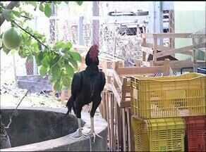 Polícia Militar Ambiental apreende 19 aves usadas em rinha de galo em Tocantinópolis - Polícia Militar Ambiental apreende 19 aves usadas em rinha de galo em Tocantinópolis