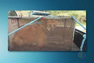 Polícia Ambiental resgata lobo-guará em casa de Arujá - Animal foi encaminhado para Centro de Reabilitação de Animais Silvestres, no Parque Ecológico do Tietê.