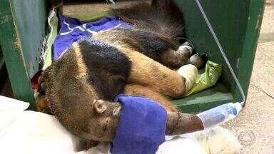 Animais silvestres feridos e mutilados são atendidos no Hospital Veterinário da UFMT - Animais silvestres feridos e mutilados são atendidos no Hospital Veterinário da UFMT