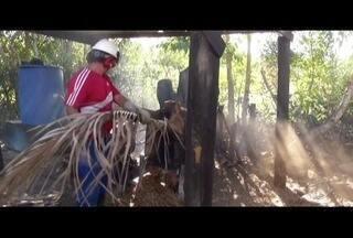 Agricultora do Norte do Rio fala dos benefícios do uso da palha de côco como adubo - Fruto tem vários destinos sustentáveis; exemplo é de São João da Barra.