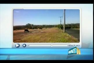 VC no MGTV: telespectador registra animais às margens de avenida em Uberaba - Ele se diz preocupado com possível invasão em via da Univerdecidade. A prefeitura informou que vai autuar o proprietário e também apreender os animais.