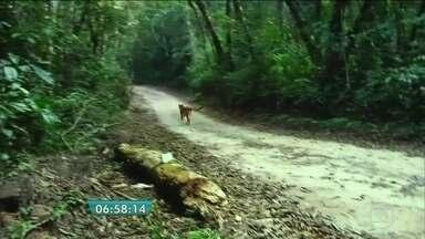 Biólogos soltam em mata a onça parda que apareceu em casa em Cotia, SP - A onça, solta em uma reserva florestal em Cotia, na Grande São Paulo, apareceu na garagem de uma casa no dia 22 de julho. O animal recebeu tratamento e passou por exames.
