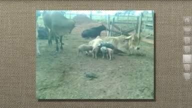 Vacas podem alimentar filhotes de outras espécies - Vacas em lactação têm uma tendência de adotar filhotes órfãos, mesmo que de outras espécies. Hormônios presentes no começo da lactação despertam o espírito maternal. Se a vaca percebe que o filhote está desnutrido ou sofre com alguma deformidade, a adoção tem ainda mais chance de acontecer.