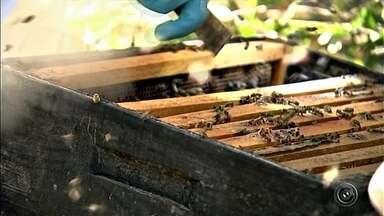 Idosa morre após ser atacada por abelhas africanas em Angatuba - Uma idosa de 79 anos morreu após ser atacada por um enxame de abelhas em sua chácara, neste sábado (6), na área central de Angatuba (SP). De acordo com Serviço de Atendimento Móvel de Urgência (Samu), a vítima sofreu mais de 100 picadas e morreu antes de chegar à Santa Casa do município.