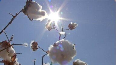 Lavouras de algodão devem produzir menos e mercado já sente os reflexos - Apesar do crescimento de quase 8% na área plantada, muito se perdeu com a seca. A colheita em MT renderá 14 mil toneladas a menos que a safra de 2015.
