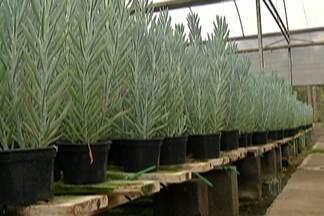 Arujá recebe 25ª edição da Expoaflord - Evento reúne produtores de orquídeas e flores de vaso.
