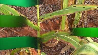 Produtores abandonam áreas de milho onde a produtividade seria baixa - Lavouras de milhoabandonadas e custos elevadospara a safra de soja foram as notícias da semana.