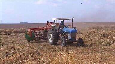 Estiagem colabora para quebra de produtividade nas lavouras de sementes de pastagem - A estiagem severa e altas temperaturas colaboraram para a queda de produtividade nas lavouras de sementes de capim. A redução, em algumas áreas chega a 70%.