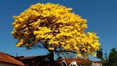 Telespectadores da TV TEM registram florada de ipês - Os telespectadores da TV TEM no Centro-Oeste Paulista registraram as floradas de ipês que ocorrem no inverno e colorem as ruas das cidades.