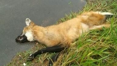 Lobo-guará é encontrado morto após atropelamento em rodovia de Iacanga - Um lobo-guará foi encontrado morto nesta quarta-feira (31) depois de ser atropelado no quilômetro 376 da Rodovia Cezário José de Castilho, em Iacanga (SP).