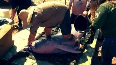 Reportagem acompanha missão de resgate de botos presos em rios - No Pará, os animais encalharam em uma lagoa que se formou no rio Marião; no Tocantins, nove botos foram retirados, três a mais do que o esperado.
