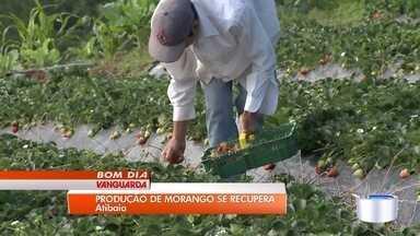 Produtores de morango realizam colheita - Condições do clima variaram muito e colheita começou a melhorar agora.