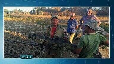 Jacaré é capturado na zona rural de Quixeramobim - De acordo com o Corpo de Bombeiros, eles foram acionados pelos donos de um sítio que perceberam que patos estavam desaparecendo.