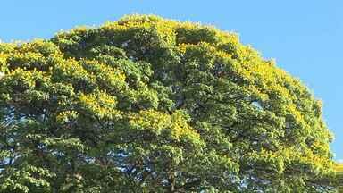 Paraná TV faz uma homenagem ao dia da árvore - Companheira de todo Maringaense, ela se tornou um símbolo da cidade
