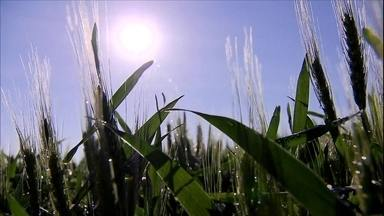 Previsão da Conab é de novo recorde na produção de grãos - A última safra de milho foi marcada por perdas causadas pela instabilidade do clima, mas a produção do grão em todo o país deverá ter um novo cenário nos próximos meses.