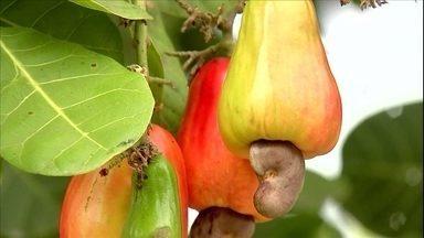 Produtores de caju do Ceará comemoram a boa fase da cultura - O clima seco não ajudou muito, mas mesmo assim, a produção vai ser maior.