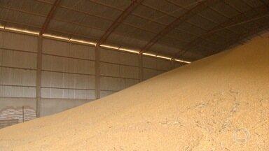 Agricultores de MS armazenam milho de inverno para valorizar produto - Produção da última safra foi menor, mas os armazéns estão lotados de milho de inverno porque a estratégia dos produtores é diminuir a oferta para melhorar o valor de negociação.