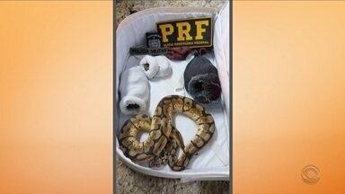 PRF encontra em carro sete cobras escondidas em meias dentro de mala no Norte de SC - PRF encontra em carro sete cobras escondidas em meias dentro de mala