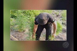 Operação policial destrói 170 mil pés de maconha - Operação ocorreu na divisa do Pará com o Maranhão.