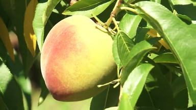 Clima garante qualidade do pêssego - Em Irati, um dos maiores produtores da fruta no Paraná, os pomares estão cheios e o agricultor está recebendo R$ 3,00 o quilo