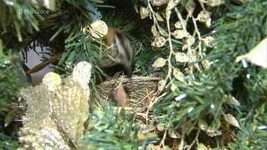 Passarinho faz ninho em árvore de Natal na casa da família - Por coincidência, a dona da casa decorou a árvore com pássaros de mentira. Eles ficaram surpresos ao ver a família de Tico-tico que se instalou no local
