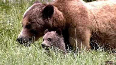 Urso-pardo e outros bichos do Canadá - Animais silvestres mostram riquezas do Canadá.