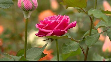 Produção de flores está a todo vapor em Santa Teresa, ES - O melhor período de produção vai de setembro a março.