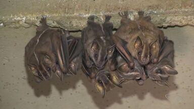 Morcego com vírus da raiva motiva vacinação de cães e gatos em Vitória - As equipes da prefeitura estão fazendo ações nos bairros Santa Lúcia, Praia do Canto e Barro Vermelho. Vários animais foram encontrados em um prédio, na Reta da Penha.