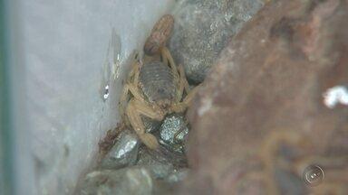 Casos de escorpiões encontrados em casas preocupam moradores de Araçatuba - Em Araçatuba (SP) só nesse ano já são 50 notificações envolvendo escorpiões. A zoonoses já atendeu cinquenta chamados de pessoas que encontraram escorpião em casa ou até foram picadas. Moradores têm que ficar de olho.