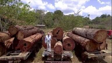Ipês de madeira nobre estão sempre na mira dos madeireiros ilegais - Os ipês de madeira nobre são os mais valorizados do Brasil atualmente. O Globo Rural mostra a devastação da espécie na Amazônia e também fala sobre a exploração sustentável.