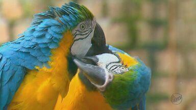 Após seis anos do projeto 'Pró-Arara', casais de aves são vistos soltos em Araras - Aves estão conseguindo se reproduzir na natureza sem a ajuda de biólogos.