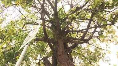 Árvores contaminadas por larvas serão monitoradas durante o carnaval em BH - Blocos serão alertados sobre risco. Nesta terça-feira (8), Belotur anunciou como será a estrutura para a folia na capital mineira.